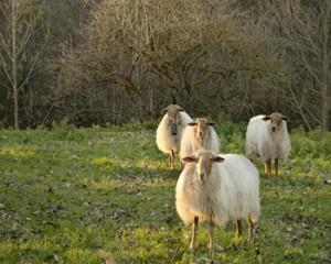 3 ovejas S